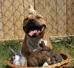 Pit bull with bird and bunnies